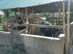 The Water Project : st-angela-dairy-cows