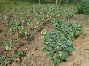 The Water Project : st-angela-vegetable-garden