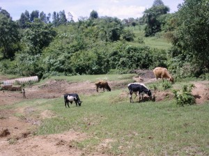 The Water Project : karima-mbakalo-grazing-livestock-who-also-drink-and-wash-in-the-stream-water