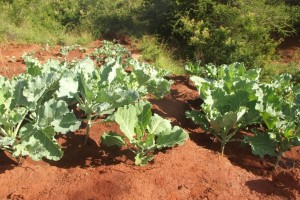 The Water Project : kenya4026_vegetable-farm_january-2013-1