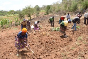 The Water Project : kenya4396-04-kee-drip-irrigation-farm-23