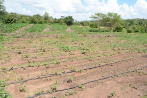 The Water Project : kenya4396-03-finished-irrigation