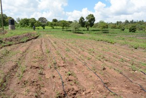 The Water Project : kenya4396-05-finished-irrigation