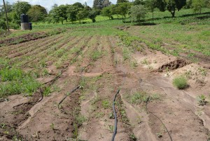 The Water Project : kenya4396-06-finished-irrigation