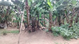 The Water Project : 10-kenya4565-banana-plantation