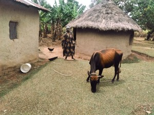 The Water Project : 11-kenya4573-livestock