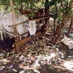 The Water Project : 9-kenya4567-moo-moo