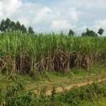 The Water Project : 15-kenya4530-sugarcane