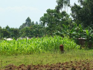 The Water Project : 5-kenya4535-maize-farm