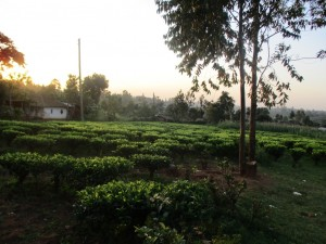 The Water Project : 6-kenya4583-cassava-farm