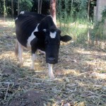 The Water Project: Friends Makuchi Secondary School -  Dairy Cow