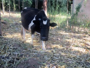 The Water Project:  Dairy Cow