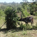 The Water Project: Shitungu Community A -  Cow Grazing Near The Spring