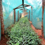 The Water Project: Ebukanga Primary School -  Greenhouse