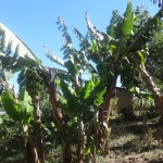 The Water Project: Shitungu Community A -  Banana Farm