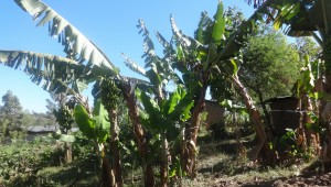 The Water Project : 7-kenya4696-banana-farm
