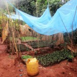 The Water Project: Emabungo Community -  Seedbed Farming