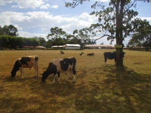 The Water Project : 12-kenya4653-school-cattle