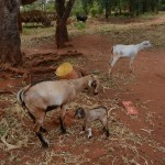 The Water Project: Katitu Community A -  Goats