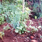 The Water Project: Bukhulunya Primary School -  School Garden