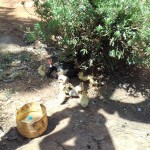 The Water Project: Wanzuma Community -  Duck With Ducklings
