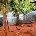 The Water Project: Mutambi Community, Kivumbi Spring -  Garden With Mosquito Net Fence