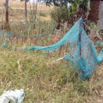 The Water Project: Eshiakhulo Community -  Kitchen Garden With Mosquito Net Fence