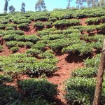 The Water Project: Wanzuma Community -  Tea Plantation