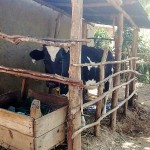 The Water Project: Shitoto Community, Abraham Spring -  Dairy Cow