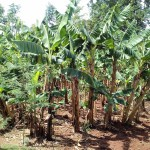 The Water Project: Igogwa Community -  Banana Plantation