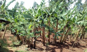 The Water Project:  Banana Plantation