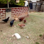 The Water Project: Bukhakunga Community -  Hens Pecking