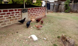 The Water Project:  Hens Pecking