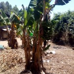 The Water Project: Handidi Community -  Banana Plantation