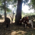 The Water Project: Bumini Primary School -  Cows