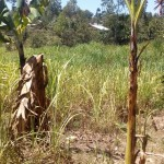 The Water Project: Handidi Community -  Sugarcane