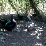 The Water Project: Handidi Community -  Ducks
