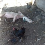 The Water Project: Handidi Community -  Pigs Enjoy The Shade