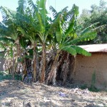 The Water Project: Shiamboko Community, Oluchinji Spring -  Banana Trees