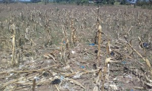 The Water Project : 22-kenya4692-dried-up-farm