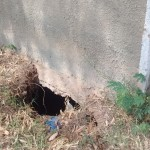 The Water Project: Eshisuru Primary School -  A Hole In One Of The Latrines