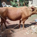 The Water Project: Igogwa Community -  Cow