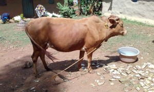 The Water Project:  Cow