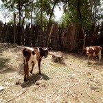 The Water Project: Bukhakunga Community -  Cattle Grazing