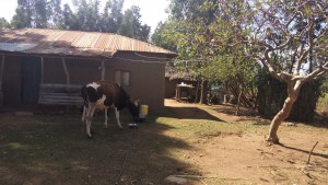 The Water Project : 9-kenya4729-cow