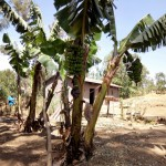 The Water Project: Shikoti Community, Alunyoli Spring -  Banana Trees