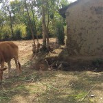 The Water Project : 11-kenya4718-grazing-cow