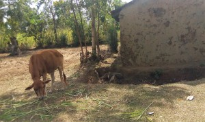 The Water Project:  Grazing Cow