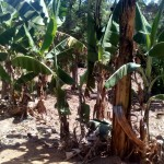 The Water Project: Handidi Community, Matunda Spring -  Banana Plantation