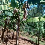 The Water Project: Elunyu Community -  Banana Plantation